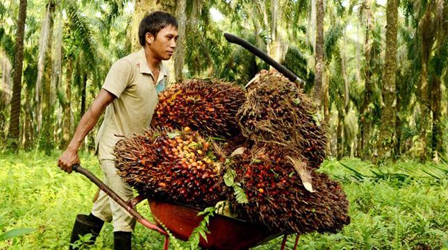 Oil Palm (agroindonesia)