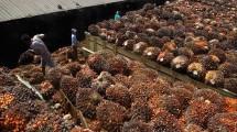 kelapa sawit (ilustrasi)