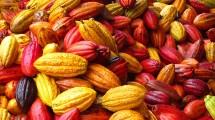 Ilustrasi Buah Kakao (Ist)