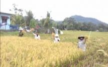 Petani Desa Linonggasai Panen (Dok. Industry.co.id)