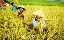 Rice Harvesting (Photo Dok Industry.co.id)