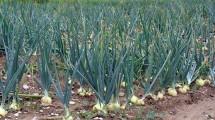 Ladang Bawang Putih (Istimewa)