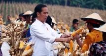Presiden Jokowi panen jagung di Tuban Jatim (Foto Setkab)