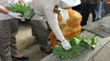 Pisang Kepok yang dikirim ke Malaysia (Foto: Anto)
