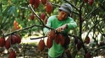 Ilustrasi Petani Kakao