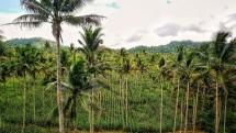 Tanaman jagung di Banggai