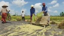 Petani panen padi jenis Inpari 40 di Desa Banyu Urip, Kecamatan Praya Barat, Kabupaten Lombok Tengah NTB
