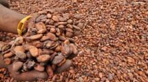Bijih kakao